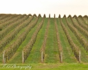 Rows of grapes at Trump Winery