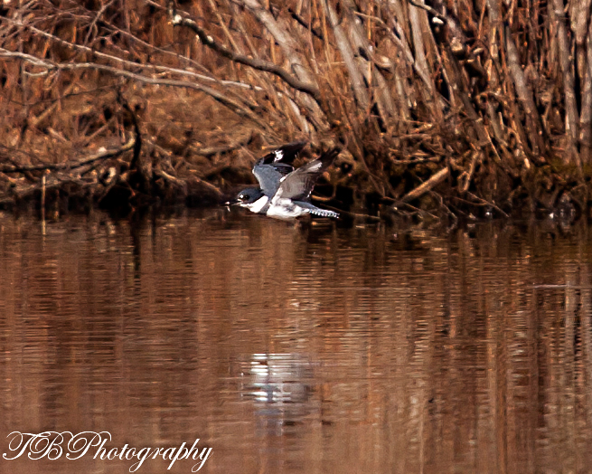 Belted Kingfisher taken on Jan. 8, 2012