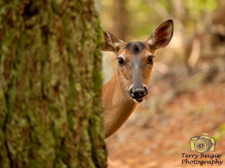 deer peeking around a tree