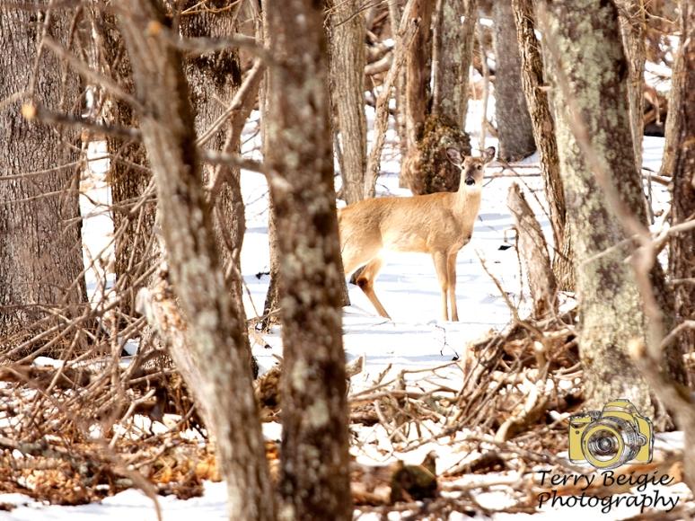 Deer in snow Shenandoah National Park